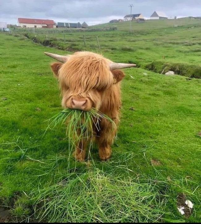 スコットランド 牛 モフモフに関連した画像-02