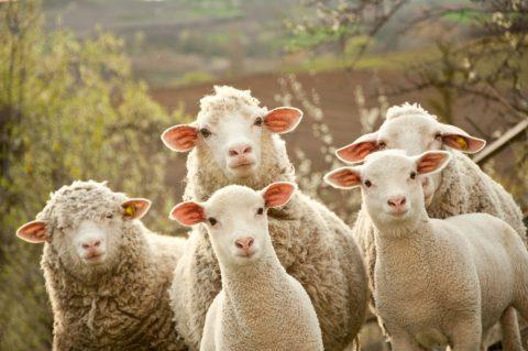 羊 犬 海外 ペットに関連した画像-01
