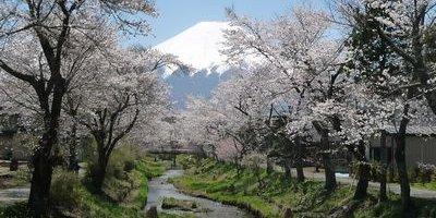 4・28忍野桜-thumb-400x300-544