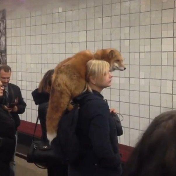 ロシア 地下鉄 キツネに関連した画像-02