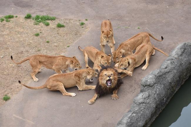 多摩動物公園 オスライオン フルボッコに関連した画像-03