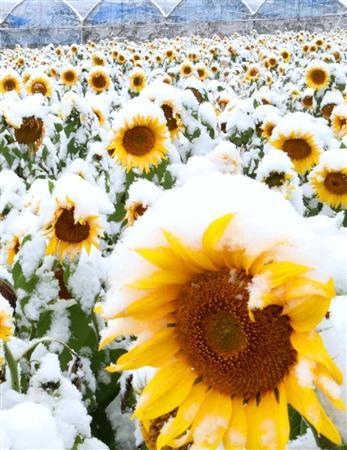 ひまわり 雪 季節 向日葵 山梨県に関連した画像-03