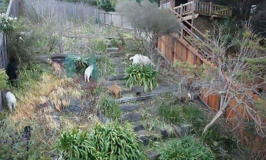 ヤギ 庭 雑草に関連した画像-04