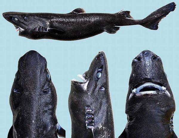 新種 サメ ニンジャに関連した画像-03