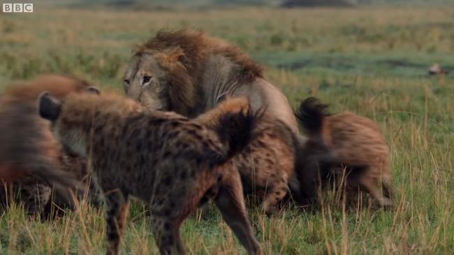 雄ライオン ハイエナ 20頭に関連した画像-07