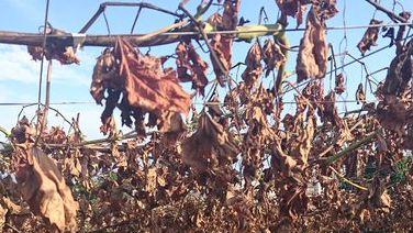 ぶどう畑 除草剤 農園 メロンに関連した画像-01