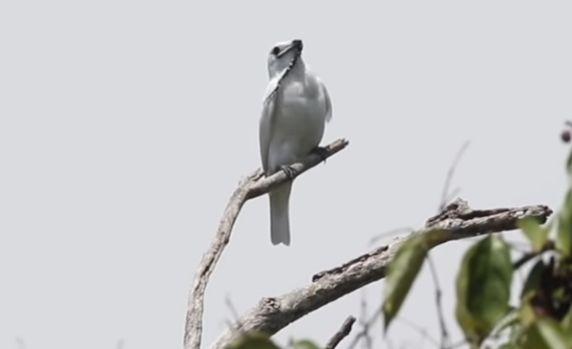 鳥 世界一 スズドリに関連した画像-01