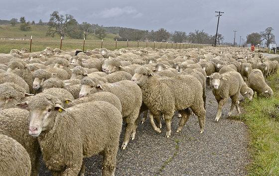 羊 映画 スローモーションに関連した画像-01