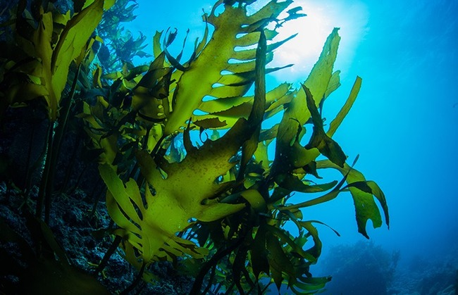 昆布 海 ダシに関連した画像-01