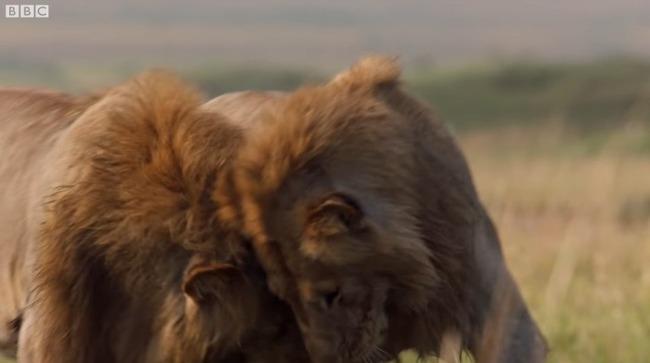 雄ライオン ハイエナ 20頭に関連した画像-11