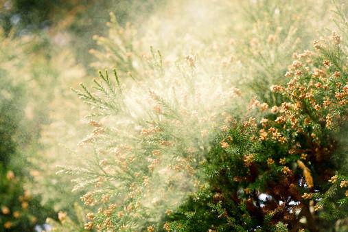 花粉症 スギ花粉 ヒノキ花粉 花粉に関連した画像-01