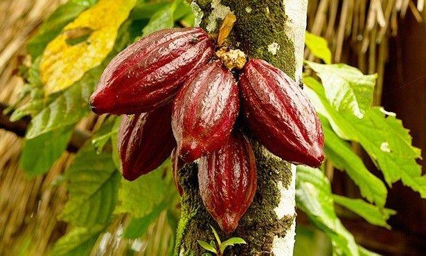 バレンタイン カカオ カカオの木 絶滅 地球温暖化 チョコレートに関連した画像-01
