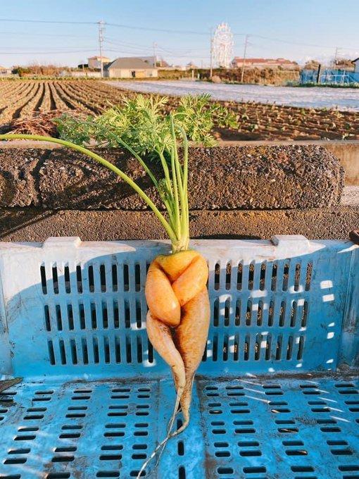 農家 ニンジン 収穫に関連した画像-07