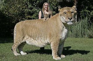 大型犬 大型猫 猫 ペット 動物に関連した画像-01