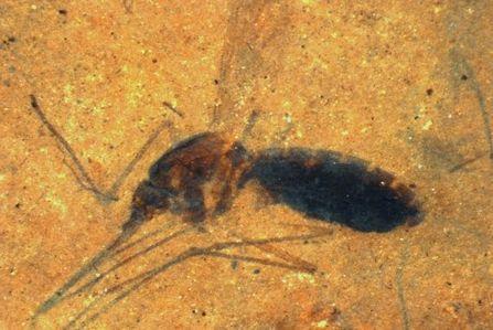 【ジュラシックパークきたあああ】腹部が血液でふくらんだ4600万年前の蚊の化石が発見される!!