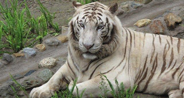 鹿児島 動物園 平川動物公園 ホワイトタイガー 飼育員 死亡に関連した画像-01