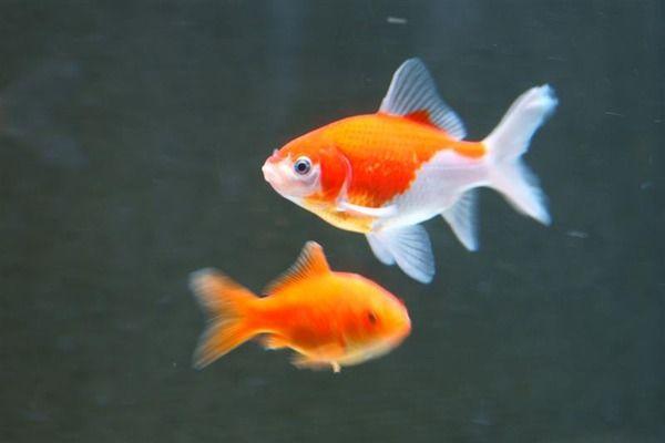 女子 金魚 トイレ 放流に関連した画像-01