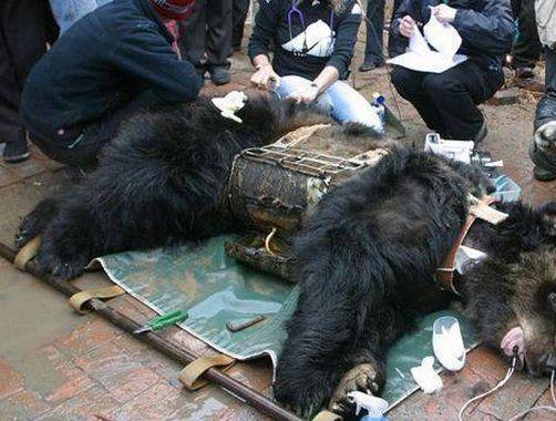 熊の胆のうに関連した画像-03
