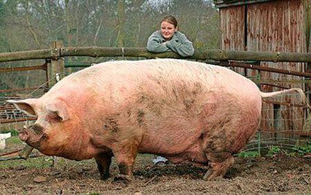 豚 男児 農家 中国 虐待に関連した画像-01