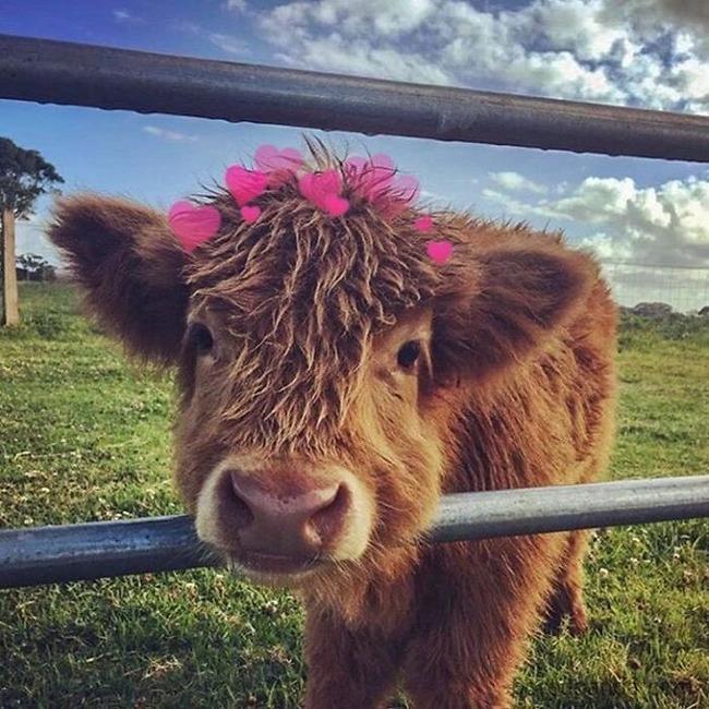 スコットランド 牛 モフモフに関連した画像-04