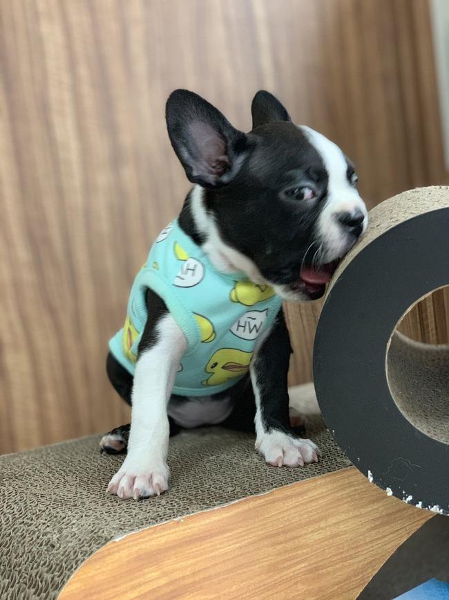 ふくれな えむれな YouTuber 犬 ペットショップ ボストンテリア 保健所 嘘に関連した画像-14