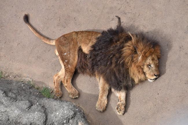 多摩動物公園 オスライオン フルボッコに関連した画像-05