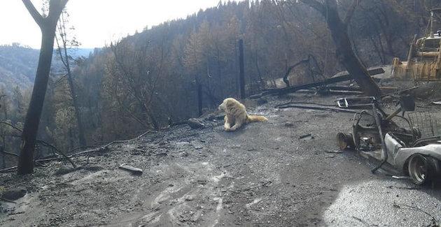 山火事 ペット 犬に関連した画像-03
