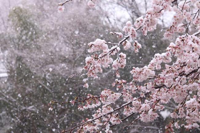 春 冬 雪 桜 開花 東京 ホワイトデーに関連した画像-01