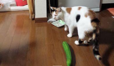 虐待 きゅうり 猫に関連した画像-01