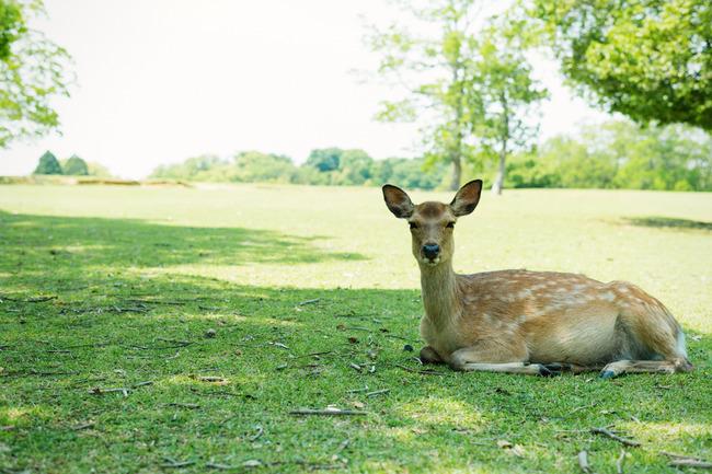 コロナウイルス 新型肺炎 中国人 観光客 奈良公園 鹿に関連した画像-01