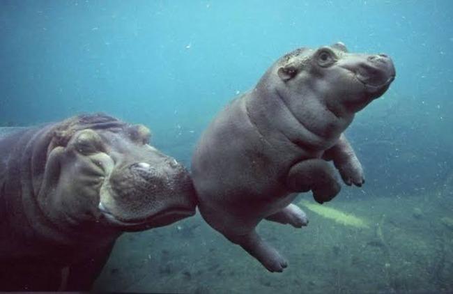 カバ 赤ちゃん 煮豚 豚足 名前に関連した画像-01