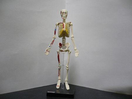 骨格標本 本物に関連した画像-01