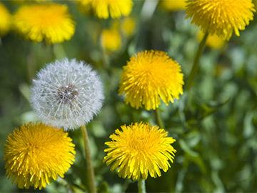 【田舎やべぇ】 庭にたんぽぽを生やしてたら匿名で手紙が届いたんだが