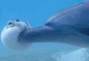 イルカ フグ ハイ ドラッグに関連した画像-01
