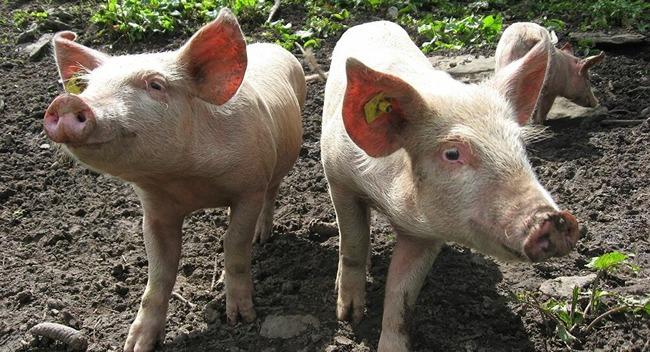 群馬県 栃木県 豚 670頭 盗難に関連した画像-01