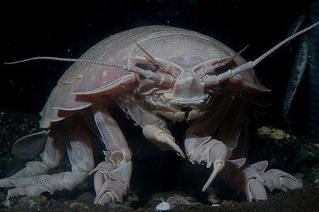 ダイオウクゾクムシ イカに関連した画像-01