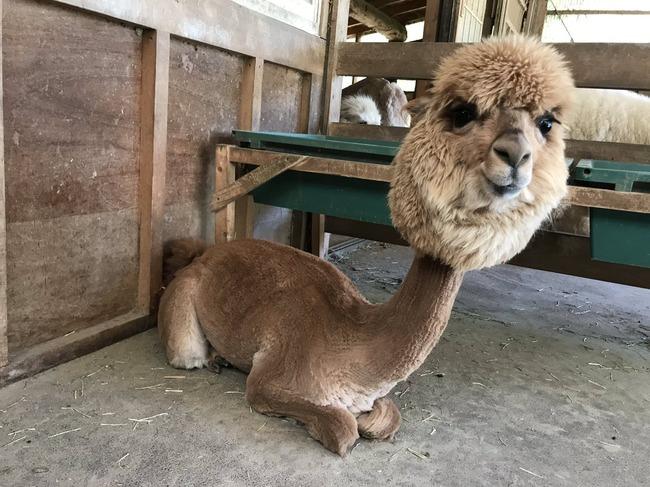 アルパカ 毛刈り サマーカットに関連した画像-02