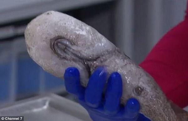 閲覧注意 グロ 海底 生物 新種に関連した画像-04