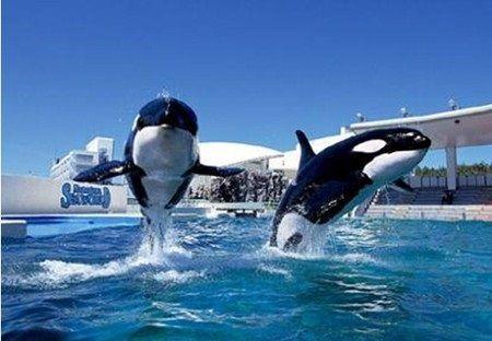 シャチ 動物愛護団体 アメリカ 水族館 シーワールド ショー 廃止に関連した画像-01