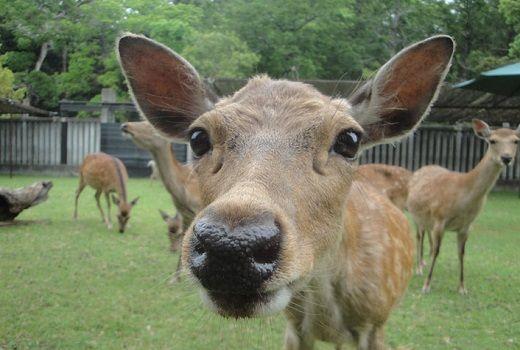 奈良公園 鹿 鹿せんべい ゴールデンウィークに関連した画像-01