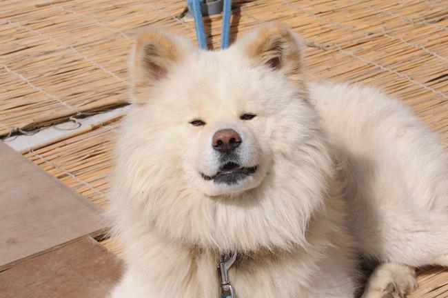 わさお 訃報 秋田犬 ブサカワに関連した画像-01