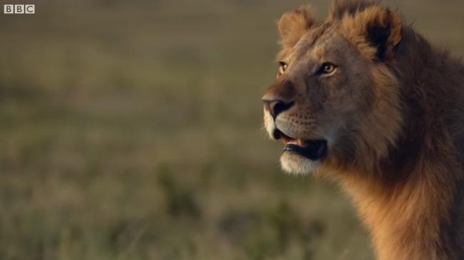 雄ライオン ハイエナ 20頭に関連した画像-06