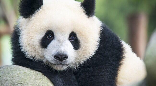 パンダ 馬糞 冬 研究 動物に関連した画像-01