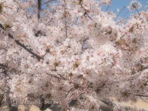 桜フィルター