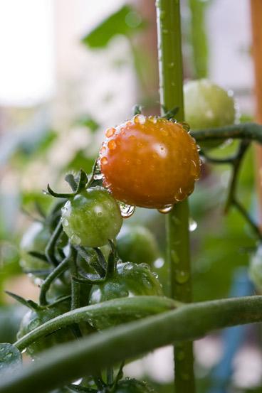 mini_tomato_2