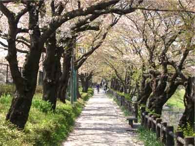 根川葉桜-1