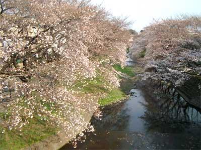 negawa_sakura_1