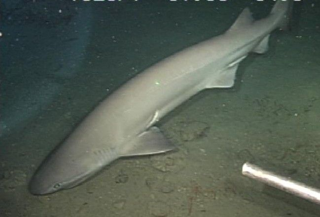 青森県沖でカグラザメ捕獲~過去には大地震の前に出現したことも