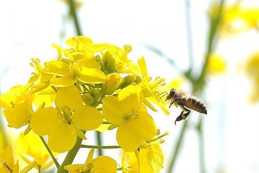 日本は「ミツバチ」の大量死や失踪の影響を疑われる農薬をなぜ禁止しないのか?「世界の流れと逆行」