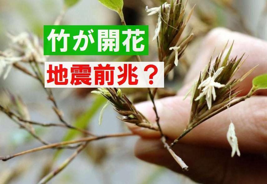 【前兆】兵庫県と宮崎県で竹の花が咲いた!大地震前兆か?+リシルさんがカナダM6.4の地震を予測